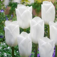 10 Tulip Royal Virgin