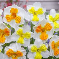Daffodil Butterfly Collection