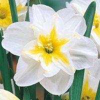 10 Narcissi Lemon Beauty