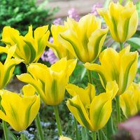 10 Tulip Yellow Spring Green