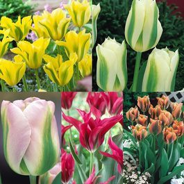 50 Tulip Viridiflora Collection