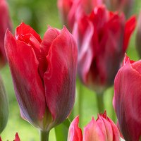 Tulip Red Spring Green