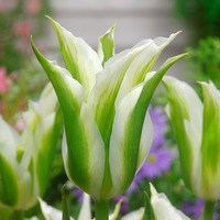 10 Tulip Green Star