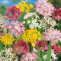 50 Small Flowering Alliums Mixed