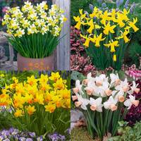 60 Narcissi Cyclamineus Collection