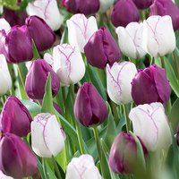 20 Tulip Shirley Embrace Collection