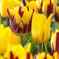 20 Tulip Rising Sun Collection