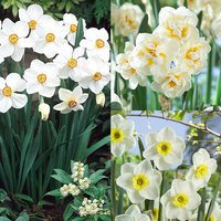45 Narcissi Fragrant Poeticus Collection