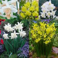 75 Narcissi Triandrus Collection 10/12cm