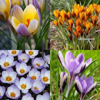 100 Crocus Rare Spring Collection