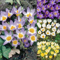 100 Crocus Species Winter Flowering Collection