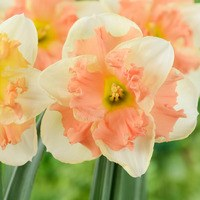 10 Narcissi Vanilla Peach