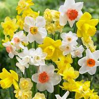 25 Daffodils Fragrant Mixed