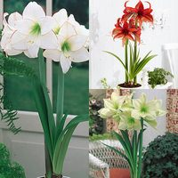 3 Amaryllis Unusual Collection