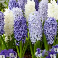 10 Hyacinth Fragrant Sea Mixed 17/18cm