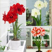 3 Amaryllis Double Flowered Collection