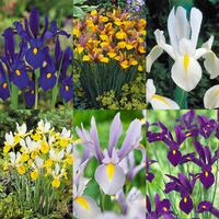 150 Iris Dutch Collection 7/8cm