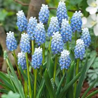 25 Muscari Peppermint