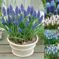 200 Muscari Collection