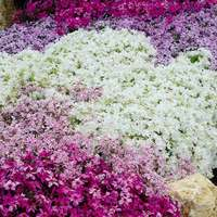 5 Phlox subulata Mixed