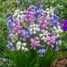 25 Scilla hispanica Mixed