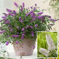 2 Buddleia Miniature Collection