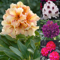 4 Rhododendron Collection