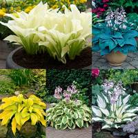 5 Hosta Designer Collection