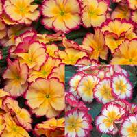 Primula Scentsation Collection (maxi Plugs)