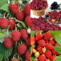 15 All Season Raspberry Collection