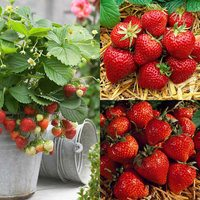36 All Season Strawberry Collection