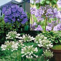 11 Agapanthus Collection
