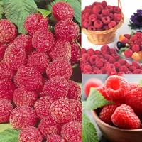 15 Raspberry Collection