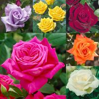 6 Rose HT Collection