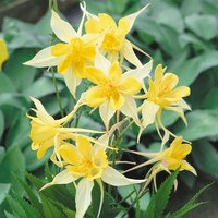 6 Aquilegia Maxi (Yellow Star)