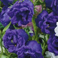 6 Campanula Medium Double Blue