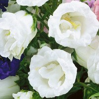 6 Campanula Medium Double White