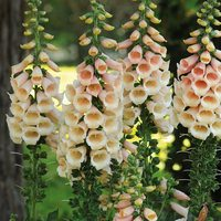 6 Digitalis Apricot Beauty