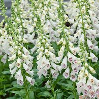 6 Digitalis Snow Thimble (White)