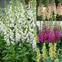 12 Digitalis Hardy Collection (Foxgloves)
