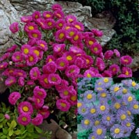 12 Erigeron Collection