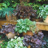 6 Heuchera Sanguinea Bressingham Mixed