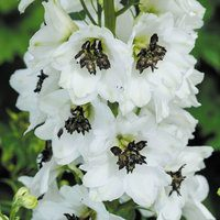 6 Delphinium Magic White