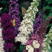 3 Buddleia Mixed