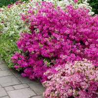 3 Azalea Diamond Japonica Mixed