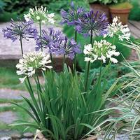3 Agapanthus Mixed