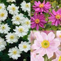 3 Anemone japonica Collection