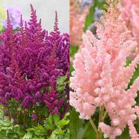 6 Astilbe chinensis Vision Collection