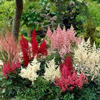 Astilbe Mixed