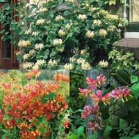 3 Honeysuckle Fragrant Collection